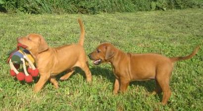 Rhodesian Ridgeback Puppies For Sale in Kentucky | Laid Back